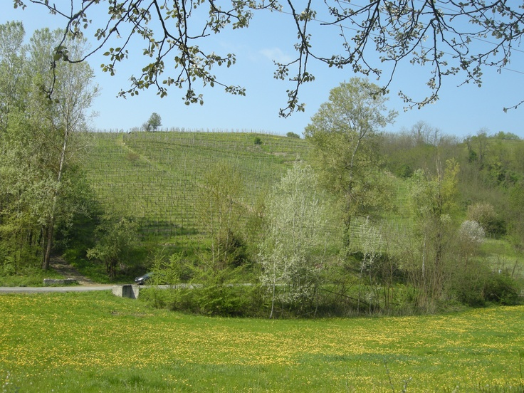 Tacchino wineyards in Spring time