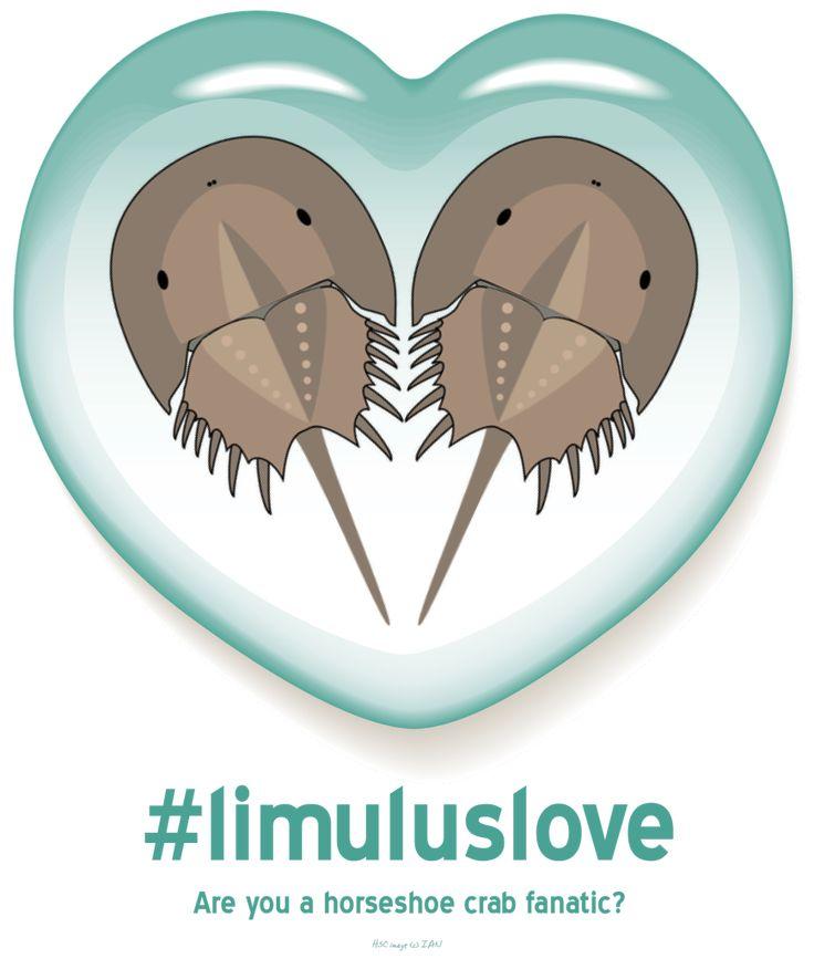 Mejores 54 imágenes de Limulus Polyphemus en Pinterest   Cangrejo de ...