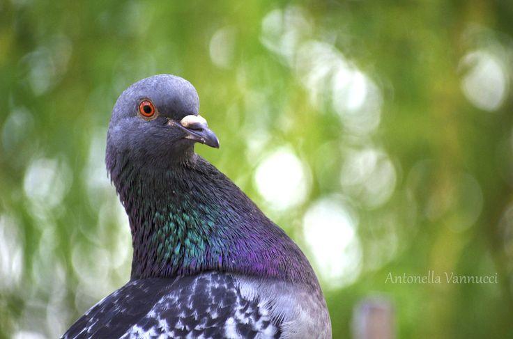 Pigeon's eye by Antonella Vannucci on 500px