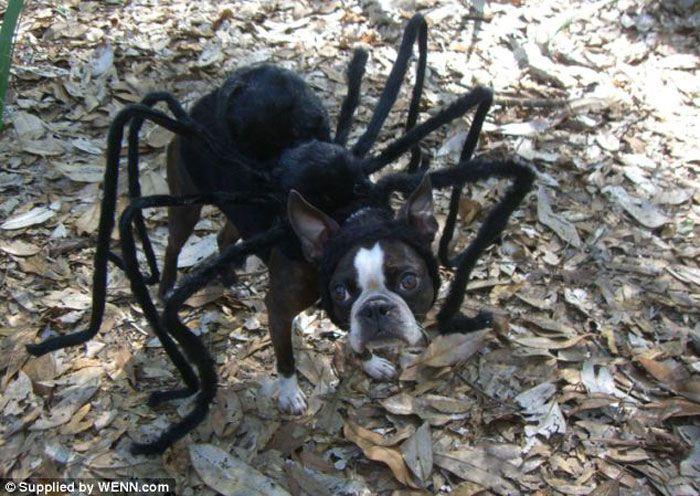 奇抜な犬のコスチューム「蜘蛛」