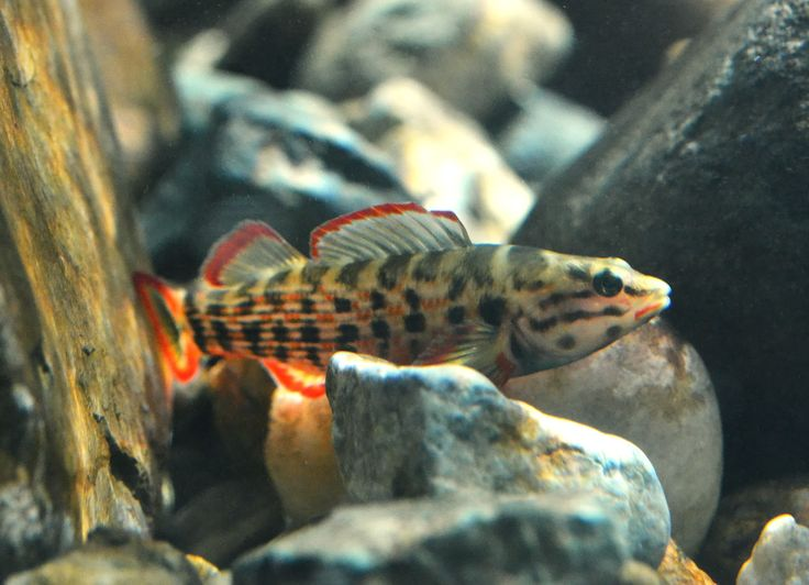 64 best images about north american native freshwater on for North american freshwater fish