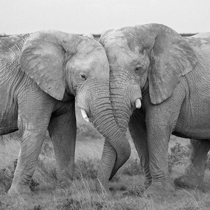"""elephants have been known to die of a broken heart if a mate dies. They refuse to eat and lie down shedding tears until they starve to death"""
