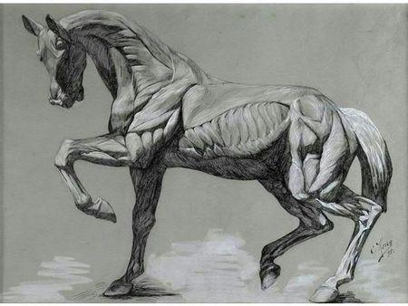 Écorché de cheval. photo courtesy Delorme - Collin du Bocage