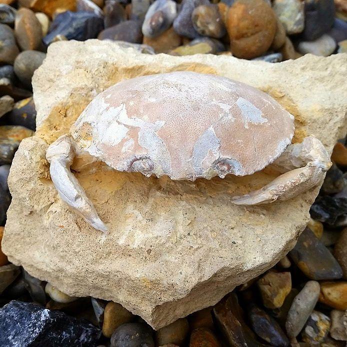 Name: Harpactocacinus punctatus Age: Eocene Location: Verona Italy #fossil #crab #ukge www.ukge.com