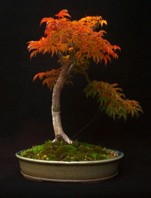 Shishigashira-Japanese-Maple-Bonsai.jpg (500×655)