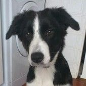 A 6 month old border collie puppy is looking for a new home. Check out its amazing eyes!