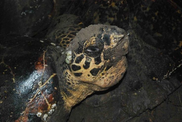 Hawksbill in Jiquilisco Bay