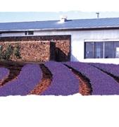 karoomba lavender farm