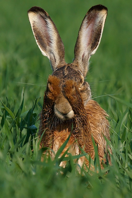 Hare having a wash! I'm happy that the person that originally pinned this explained- I thought he/she was hiding. You know the game, if I can't see you, you can't see me-sww