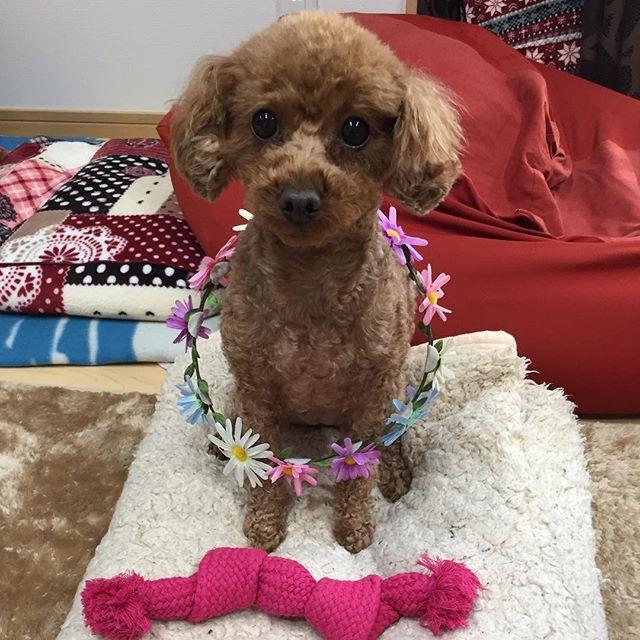 #感謝の日 #トイプードル#お誕生 #愛犬 #姉妹 #親バカ#dog  今日、2月14日はきぃちゃん🌼のお誕生日なのぉ🎂🎉バレンタインの日に生まれたの💕💕💕ピンクのロープは、お父さんとお母さんのプレゼント🎁でも花菜子に取られるけど💦💦あーちゃん今日だけは、意地悪しないでねぇ〜〜っ⚪︎⚪︎⚪︎