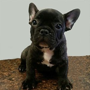 French Bulldog Puppy For Sale Brindle In Nj Animal Pinterest