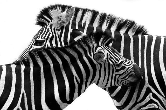 Zebras @WeeLing Chua