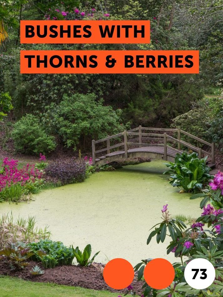 Learn Bushes With Thorns Berries How To Guides Tips And Tricks Plants Globe Arborvitae Grass Type