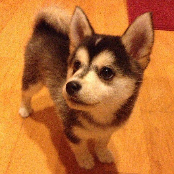 Husky Corgi Pomskyfullgrown Cute Animals Corgi Husky Mix Pomsky Puppies