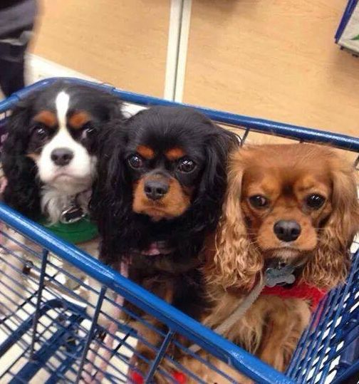 Shopping assistants - Cavaliers
