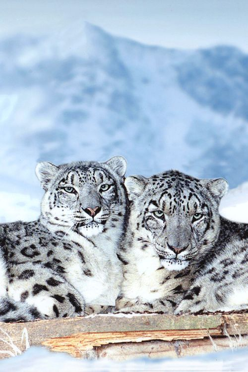 Nature calms you down - Snow friends - Leopards  ❤❥*~✿Ophelia Ryan✿*~❥❤