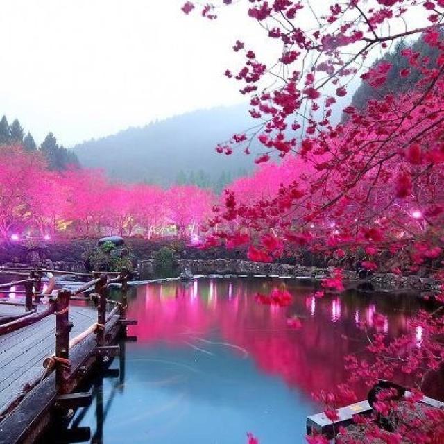My Childhood Cherry Blossoms, Japan