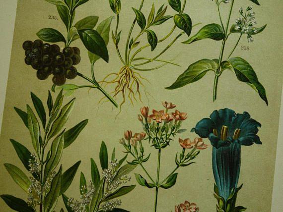 Old botanical prints set of three 3 matching original 1896