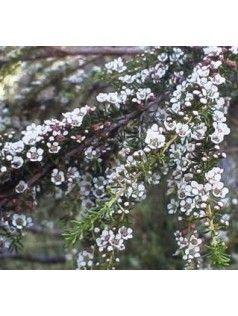 Agonis fragrans, Fragonia Essential oil