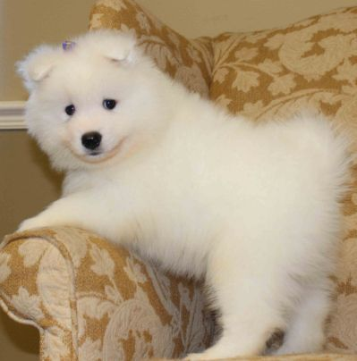pomeranian samoyed mix best 25 samoyed puppies ideas on pinterest samoyed dog 9242