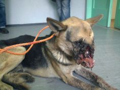 Sometimes people make me sick. Kids put a firecracker in this poor German Shepherd's mouth and then taped its jaw shut. The dog was later put down. This picture is proof that animal cruelty is NOT ok and we should do everything we can to stop it.