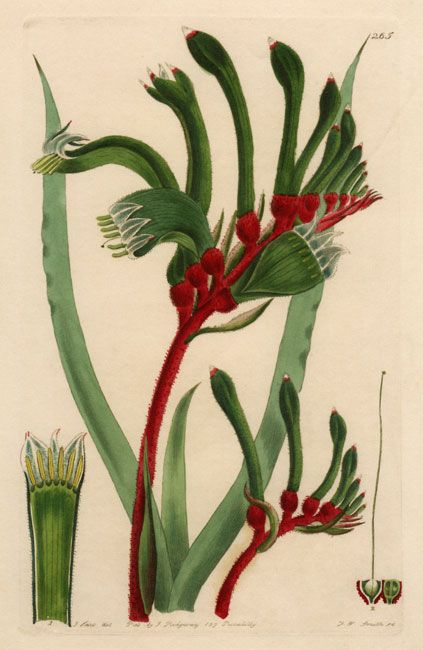 illustration of Anigozanthos manglesii (Kangaroo Paw)