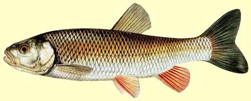chevesne poisson