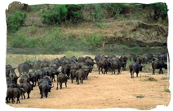 Herd of buffalos going for a drink at the Letaba river.