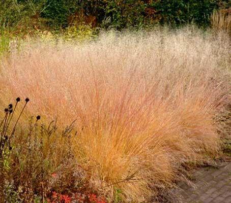 12 best images about sporobolus on pinterest ornamental for Modern ornamental grasses