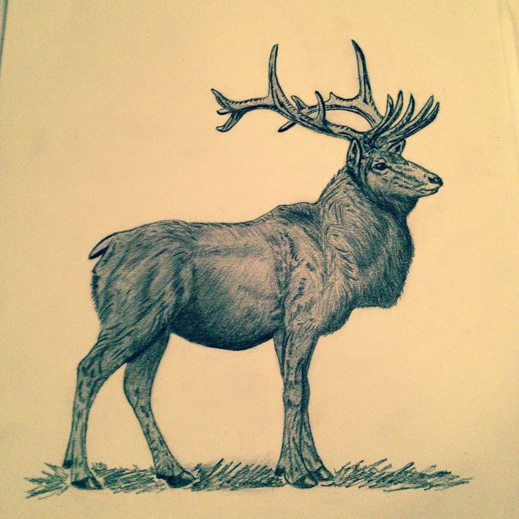 Elk in pencil 117 best ELK images