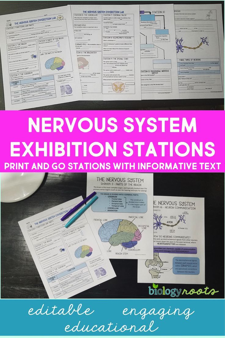 Nervous System Exhibition Stations Human Body Systems Nervous