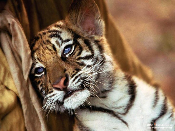 Cute Tiger Cubs Wallpapers Blue Eyed Tiger Cub Big Kitty Cats Pinterest Tigers