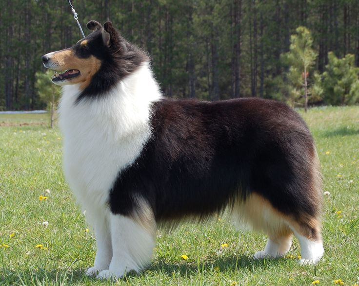 Are Border Collies Good Guard Dogs
