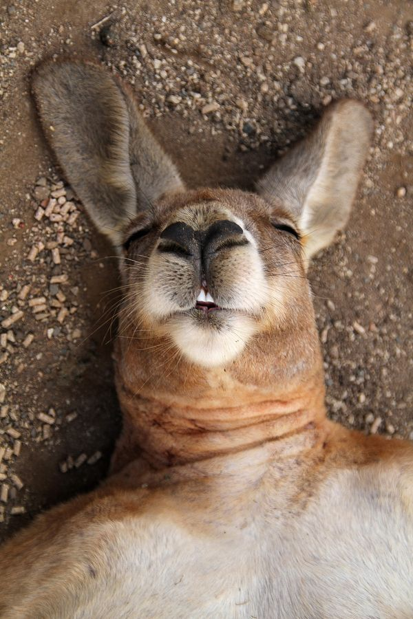 What a great pic of a kangaroo.