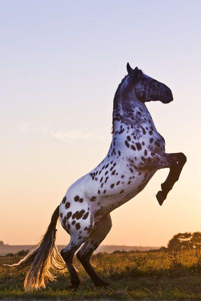 Appaloosa Stallion in the Sun #Appaloosa #Horse #Sky