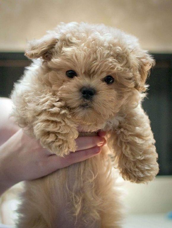 Shihtzu Bichon Puppy Looks Like A Straight Up Teddy Bear