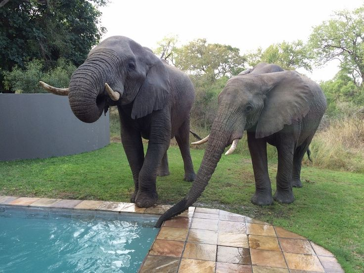 Being an unfenced lodge, guests at Selati Camp never know what's around the next corner… or for the Pothier's, behind the curtain!! Elephants enjoy a drink of water from the private pool at the Ivory Presidential Suite! PhonePic by Courtney Dalziel