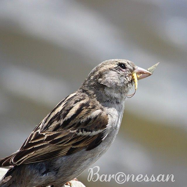 Fru gråsparv har fixat slända till middag #gråsparv #housesparrow #nature #birds #fåglar