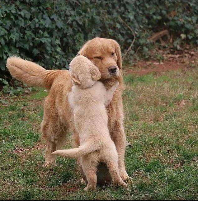 "Golden Retriever & Her Pup ~ Classic ""Hi Mom"" Look"
