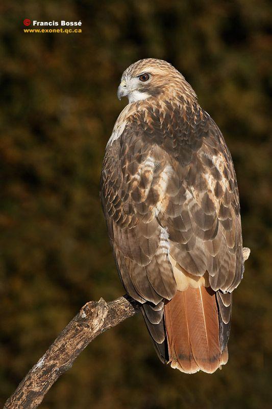 buse à queue rousse   Portfolio: Oiseaux » Oiseaux de proies » Buse à queue rousse