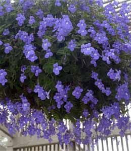 I Get This Flower In A Hanging Basket Every Year It S Actually More Stunning