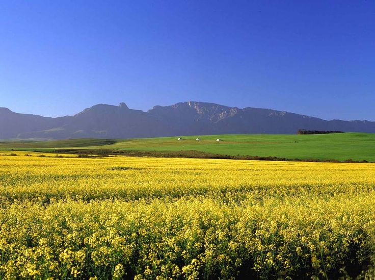 Early spring in Swellendam. Canola fields for days.