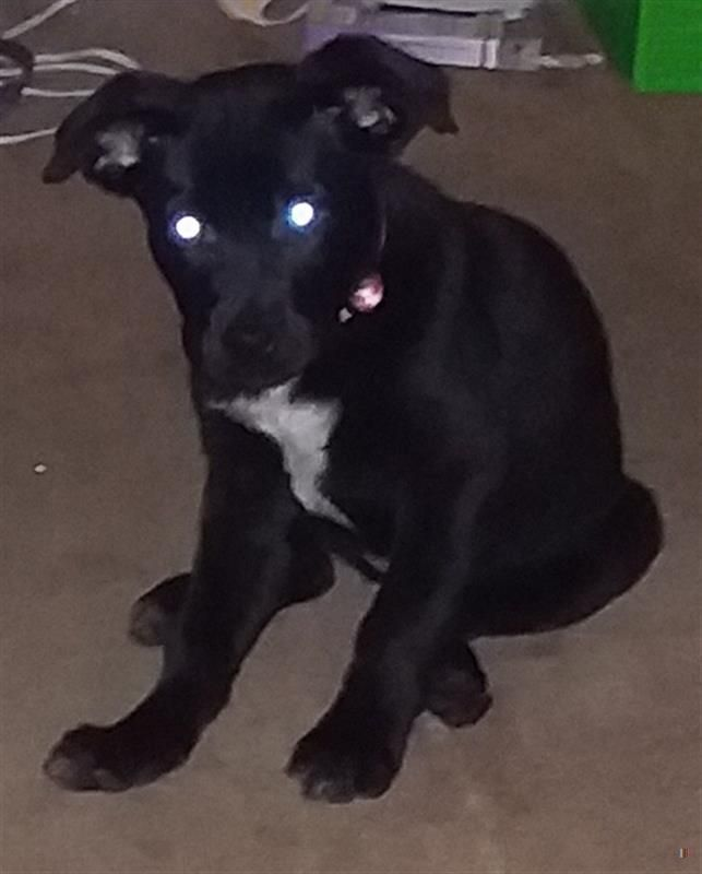 Lost Dog Female Mortimer Allen Twp Findlay Oh Usa 45840 On