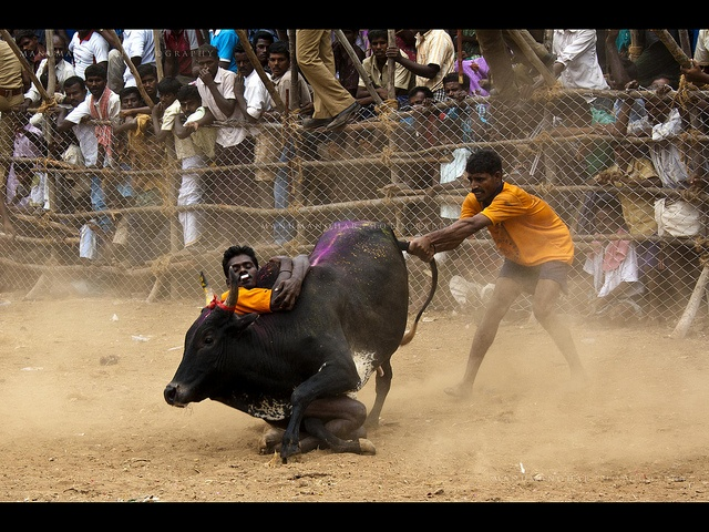 Jallikattu (Tamil: சல்லிகட்டு) or Eruthazhuvuthal (Tamil: ஏறுதழுவல்) or Manju Virattu (Tamil: மஞ்சு விரட்டு) is a bull taming sport played in Tamil Nadu as a part of Pongal celebrations usually on Mattu Pongal day. This is one of the oldest living ancient sports seen in the modern era.