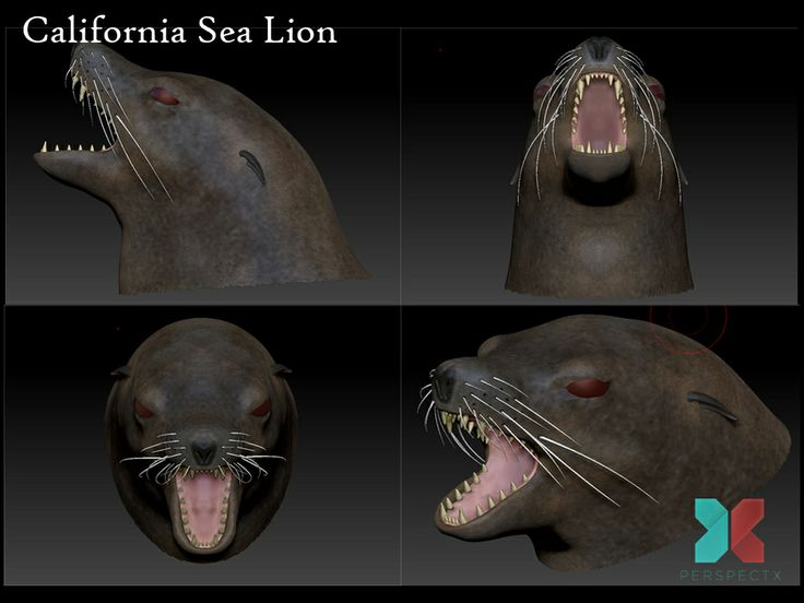 Recent work...a California Sea Lion...head close-up...