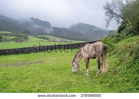 Wet white horse grazing in a lush summer pasture during cloudy and rainy day, with green grass, mountain haze and low stone wall on the background, Azores islands, Portugal.
