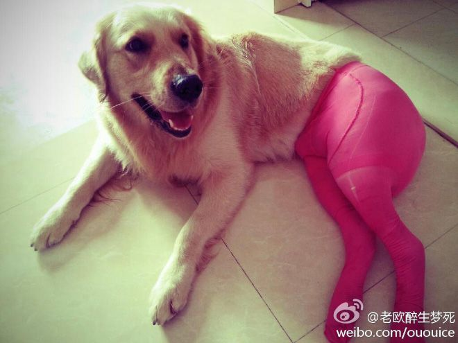 Dogs Wearing Pantyhose - This is just sooo wrong but hilarious (1 of 15 Pics)