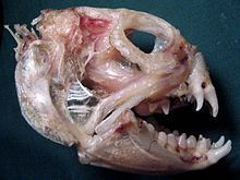 Atlantic wolffish - Wikipedia, the free encyclopedia
