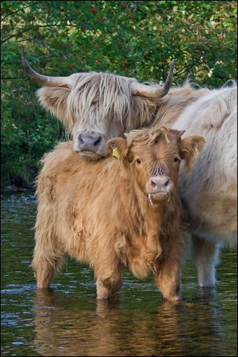 Highland cow and calf in river, Scotland