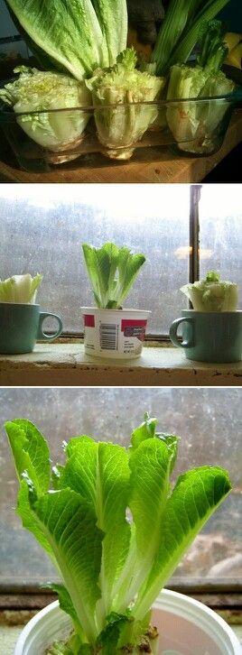 Refaire de la laitue fraîche à partir d'un vieux coeur de laitue!!! Ça marche vraiment et c'est très écologique!!!